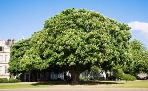 A spreading Horse Chestnut tree.